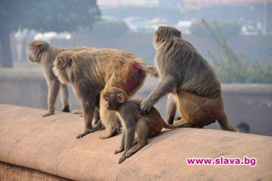 Пазят Тръмп от диви маймуни в Индия