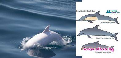 Откриха в Черно море делфин албинос
