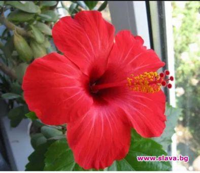 Китайска роза, алое и кактус - трите полезни цветя:...