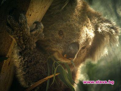 Куче на име Беър спасява коали