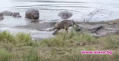 Хипопотами спасиха антилопа от захапката на крокодил