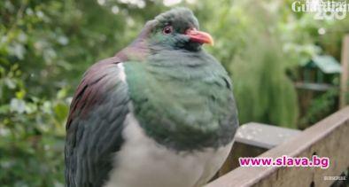 Дивият гълъб кереру, чиито вид е известен с това, че