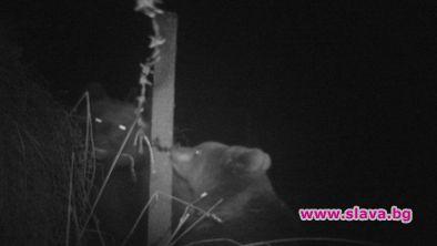 Мечка и малко мече са заснети в района на държавно
