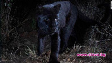 Оказва се, че митичният африкански черен леопард наистина съществува. Биолозите