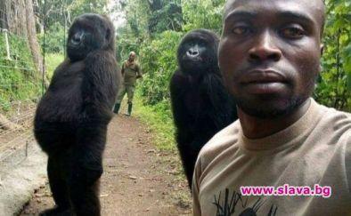 Две горили са били заснети, позирайки за селфи с хората,