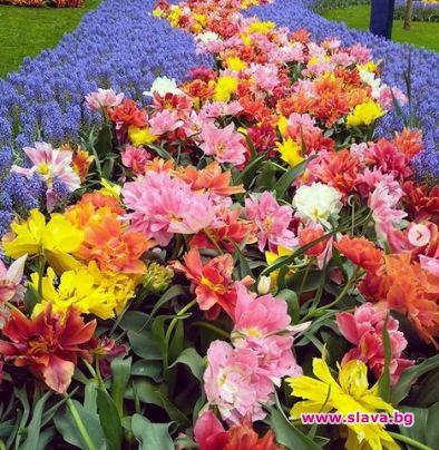 Всяка година лалетата в Амстердам привличат милиони посетители в Холандия.