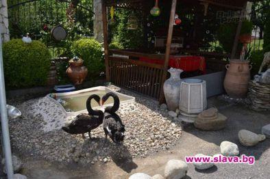 Черни лебеди в корито до строеж в Люлин 2: жива