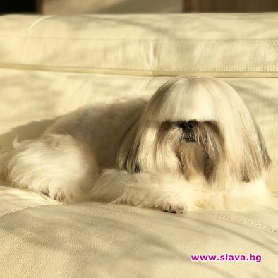 Куче на име Бонтенмару от породата ши-тцу, което много прилича