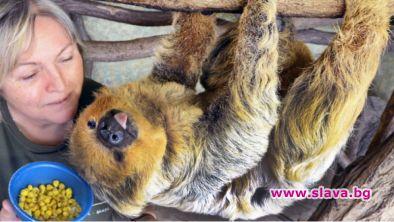Най-възрастният известен ленивец в света - Паула, почина на 51