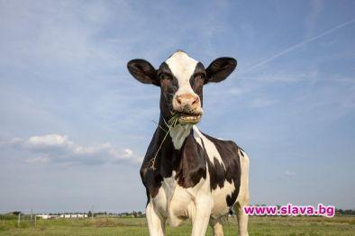 Крава, наречена на Виктория Бекъм, от породата Лимузин беше продадена