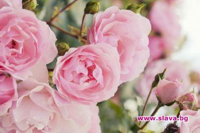 """Общо 17 са кандидатките в конкурса """"Царица Роза 2021"""", които"""